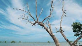 O steadicam da suspensão Cardan disparou de uma árvore seca, inoperante com ramos abstratos contra um céu azul Tronco de árvo filme