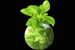 O stevia da erva com vai logotipo verde Foto de Stock