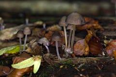 O stipata de Mycena do cogumelo Imagem de Stock