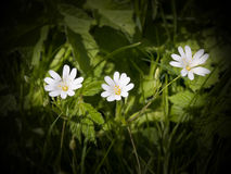 O Stitchwort maior encantador Fotografia de Stock