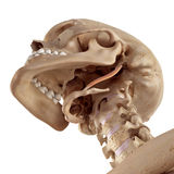O stylohyoid foto de stock royalty free