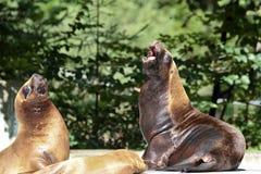 O sul - leão de mar americano, flavescens do Otaria no jardim zoológico foto de stock royalty free