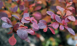 O sumário amarelo brilhante da cor da hera da beleza do coleus natural das rosas do briar do outono floresce o outono colorido da Imagem de Stock Royalty Free