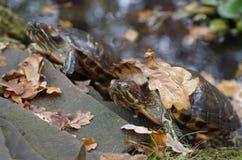 O sunbath da tartaruga na costa do lago com queda sae nele Imagem de Stock