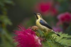O sunbird roxo na árvore vermelha do sopro de pó floresce imagens de stock royalty free