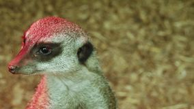 O suricatta do Suricata do meerkat ou do suricate vídeos de arquivo