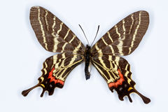 O swallowtail atado de Mansfield três; mansfieldi do bhutanitis Foto de Stock Royalty Free