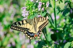 O swallowtail da borboleta senta-se com as asas abertas na flor imagem de stock royalty free