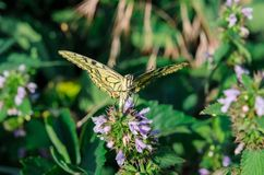 O swallowtail da borboleta senta-se com as asas abertas na flor fotografia de stock