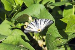 O swallowtail da vela da borboleta com as extremidades danificadas das asas senta-se nas folhas do feijão fotografia de stock