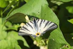 O swallowtail da vela da borboleta com as extremidades danificadas das asas senta-se nas folhas do feijão imagens de stock royalty free