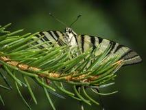O swallowtail Podalirius da borboleta senta-se enfrentando a câmera fotos de stock