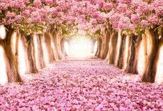 O túnel romântico de árvores cor-de-rosa da flor fotografia de stock