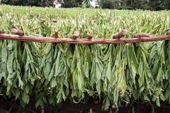 O tabaco folheia secando em uma exploração agrícola, nos vinales, Cuba fotografia de stock