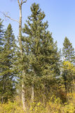 O taiga do leste das árvores Imagem de Stock Royalty Free