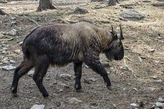 O Takin é o animal nacional de Bhutan Foto de Stock Royalty Free
