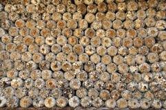 O tampão da serragem da exploração agrícola do cogumelo Fotos de Stock