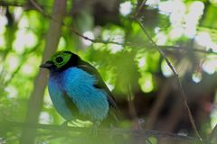 O tanager de Paradise, chilensis de Tangara imagem de stock royalty free