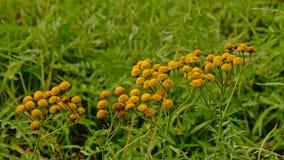 O Tansy floresce em um prado - vulgare do Tanacetum Fotografia de Stock Royalty Free
