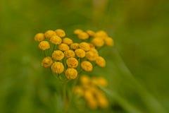 O Tansy floresce, imagem lensbaby do bokeh sonhador - vulgare do Tanacetum Imagens de Stock Royalty Free