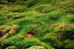 O tapete do musgo formou no ártico nos limites os mais northernmost de vida imagem de stock royalty free