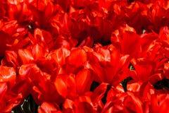 O tapete do vermelho floresce o close up Imagens de Stock