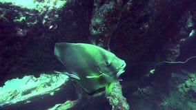 O teira de Platax do Batfish de Longfin é limpado limpando peixes no Mar Vermelho Egito video estoque