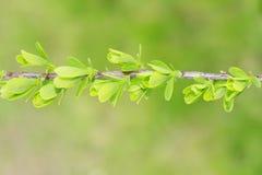 O tempo de mola… aumentou as folhas, fundo natural imagens de stock royalty free