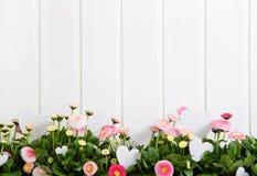 O tempo de mola cor-de-rosa da margarida floresce no fundo de madeira branco Imagens de Stock Royalty Free