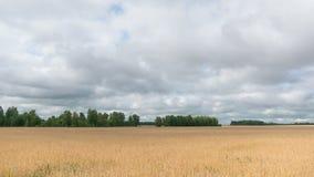 O tempo dobra a paisagem do campo de trigo na colheita vídeos de arquivo
