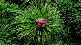 O tenuifolia do Paeonia do botão da peônia no verde deixa o fundo Imagens de Stock