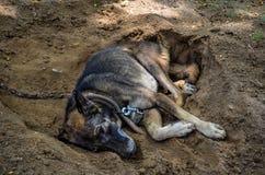 O terrier de galês jejua adormecido Fotos de Stock