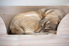 O terrier de galês jejua adormecido Imagem de Stock