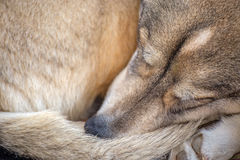O terrier de galês jejua adormecido Fotografia de Stock