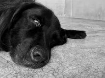 O terrier de galês jejua adormecido Fotografia de Stock Royalty Free