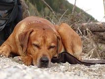 O terrier de galês jejua adormecido Imagens de Stock