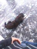 O terrier de galês jejua adormecido foto de stock royalty free