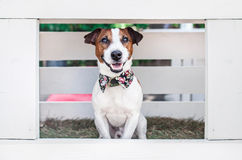 O terrier de Jack Russell Fotos de Stock