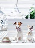 O terrier de Jack Russell Fotografia de Stock Royalty Free