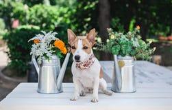 O terrier de Jack Russell Fotos de Stock Royalty Free