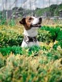 O terrier de Jack Russell Foto de Stock