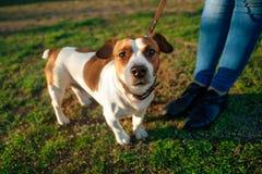 O terrier de Jack Russell do cão em uma trela nos pés da senhora olha acima na grama verde foto de stock royalty free