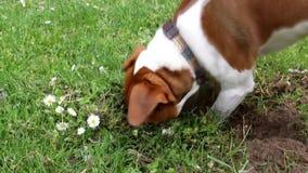O terrier de Jack russell encontrou algo no campo video estoque