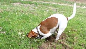 O terrier de Jack russell encontrou algo no campo vídeos de arquivo