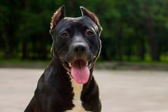 O terrier de pitbull americano preto e branco do retrato horizontal senta-se e sorri-se com a língua no parque fotos de stock