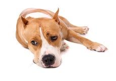 O terrier de Staffordshire cansou-se e coloc para descansar fotos de stock royalty free