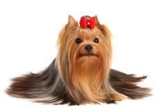 O terrier de Yorkshire da classe da mostra Foto de Stock Royalty Free