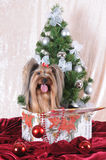 O terrier de Yorkshire senta-se em uma caixa atual Fotografia de Stock Royalty Free