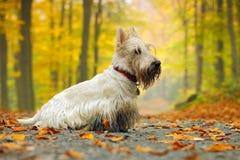 O terrier escocês wheaten branco, sentando-se na estrada do cascalho com laranja sae durante o outono, floresta amarela da árvore Fotografia de Stock Royalty Free