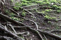 O teste padrão da árvore das raizes para o fundo no jardim em Taipei Imagem de Stock
